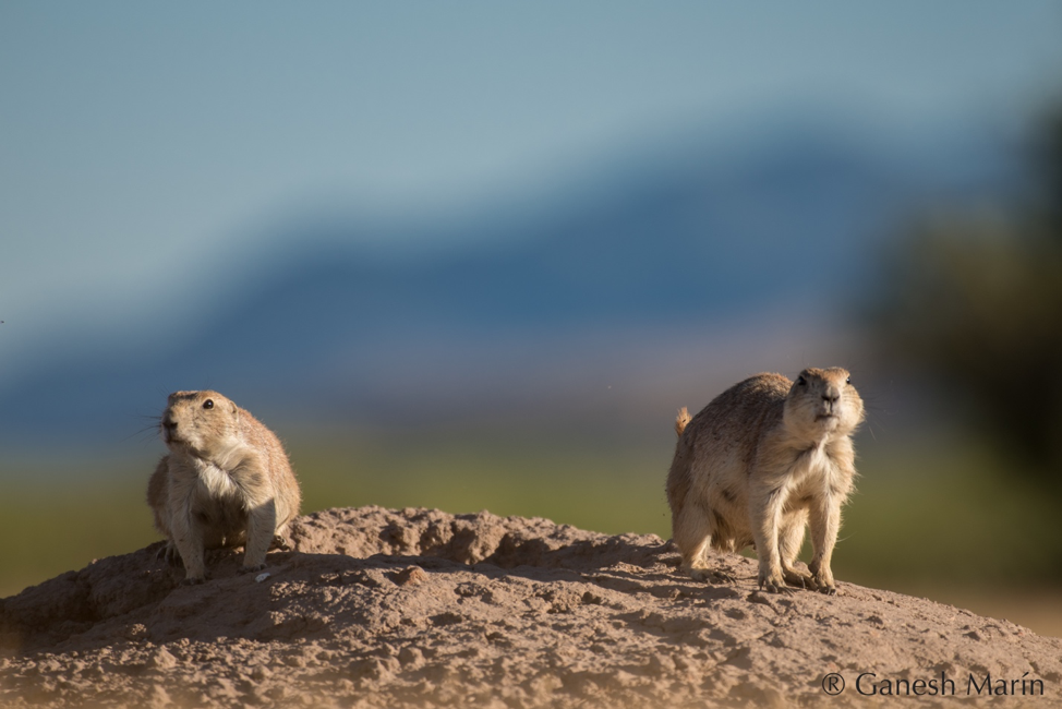 Two ground squirrels sit on top of burrow
