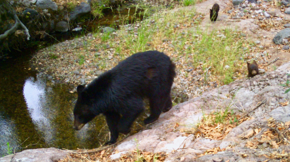 A black bear and 2 cubs explore the banks of a river