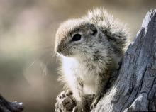 Juvenile ground squirrel looks at camera from tree