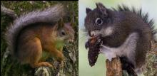 Eurasian red squirrel and Mt. Graham red squirrel