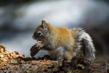 red squirrel with cone on branch