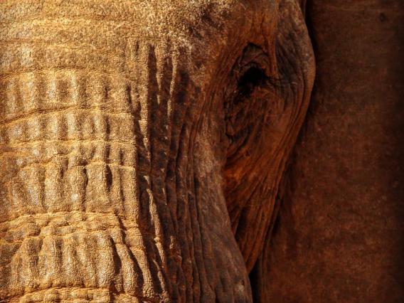 Close-up of elephant facing camera
