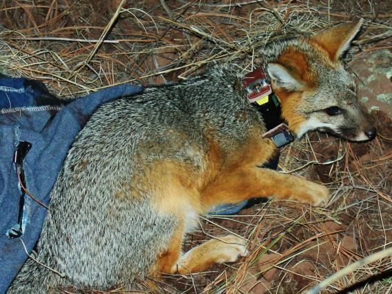 Gray fox with GPS collar