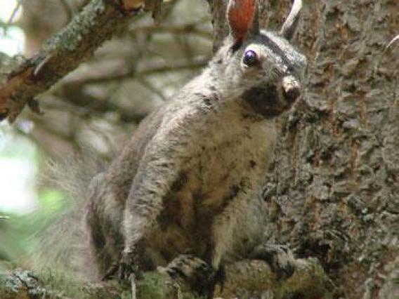 Abert's squirrel in summer pelage