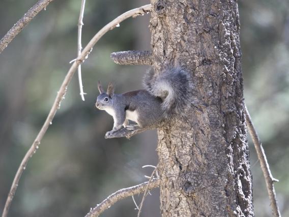 Abert squirrel sits on branch