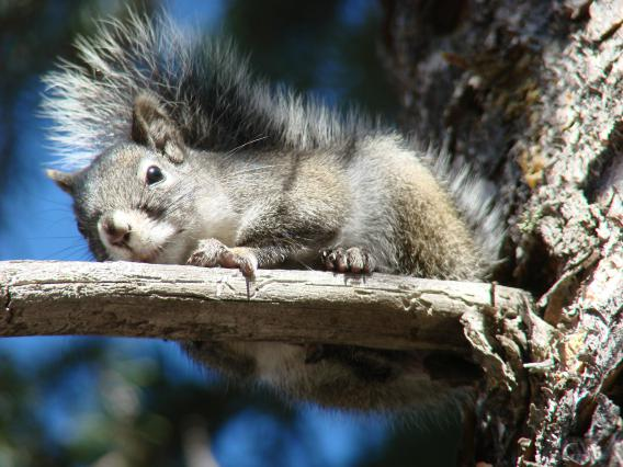 Mt. Graham red squirrel female basking