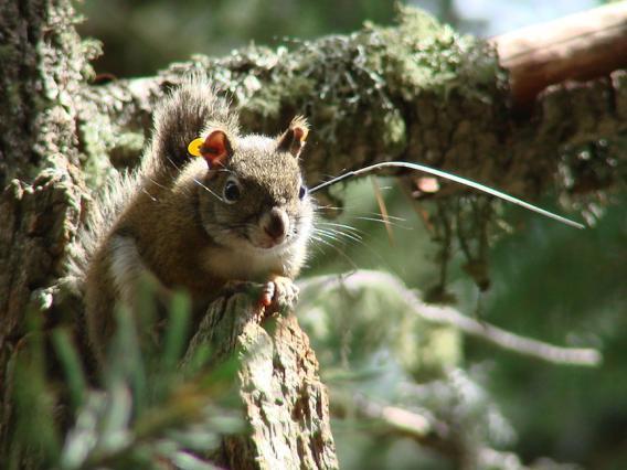 Mt. Graham red squirrel juvenile with radio collar