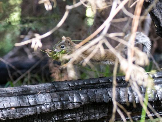 Mt. Graham red squirrel on burned log