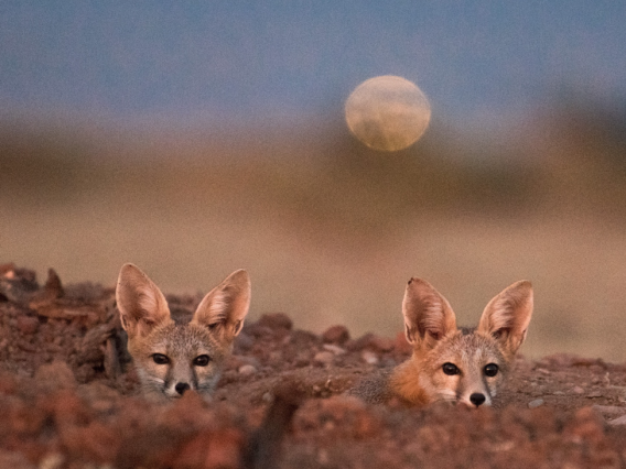Two kit fox look toward camera with moon in background