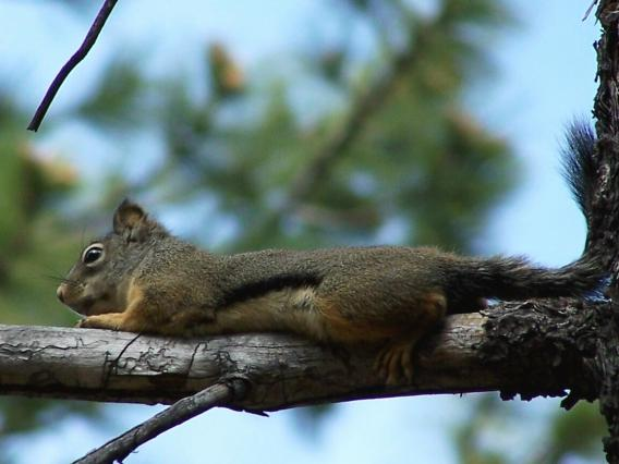 Mearnss squirrel female