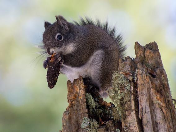 Mt. Graham red squirrel feeding