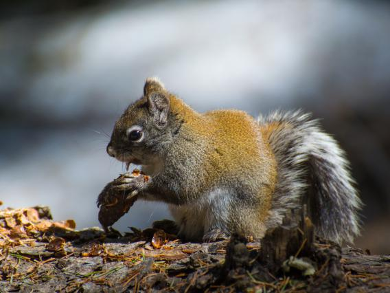 Mt. Graham red squirrel with cone
