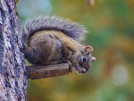 Mt. Graham red squirrel post fire