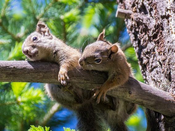 2 Juvenile Mt. Graham Red Squirrels in tree