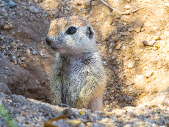 Round-tailed ground squirrel pup