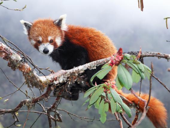 Red Panda sits in branch in Langtang NP