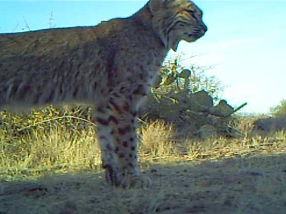 Bobcat in the Sonoran Desert