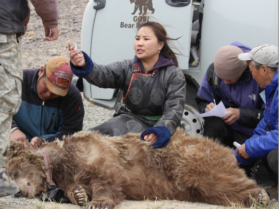 A woman kneeling behind a tranquilized bear surrounded by assistants.